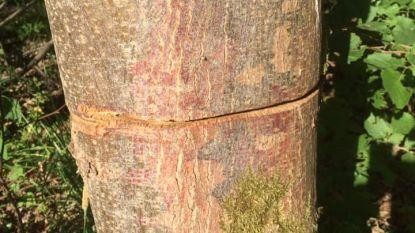 Geringde bomen in Elzenbos zijn geen vandalisme, maar bosbeheer