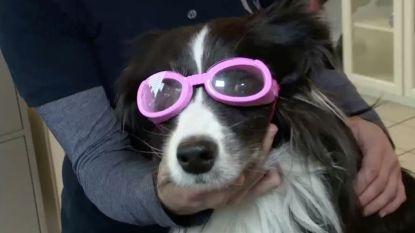 Duitse oogarts maakt speciale brillen voor bijziende honden
