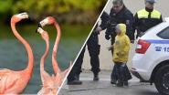 Jonge kinderen trappen flamingo dood in Tsjechische zoo