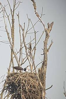 Verrassing: niet vijf maar zes visarendjes in de Biesbosch