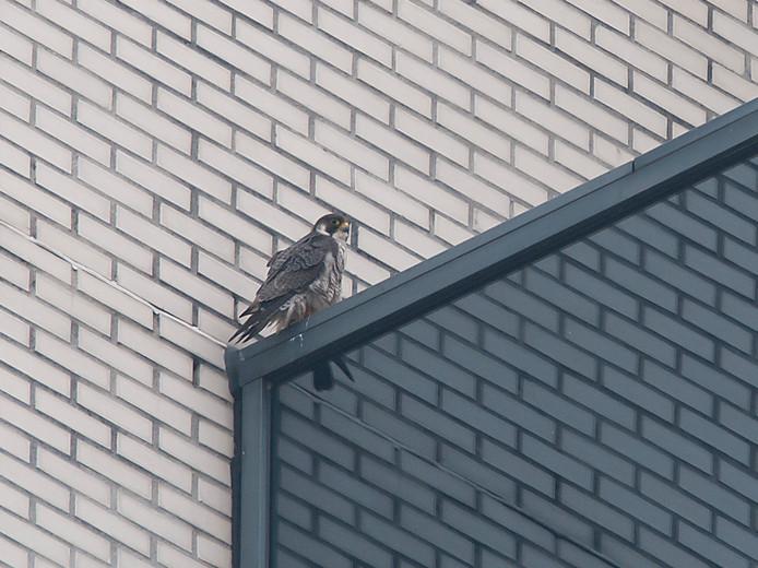 Slechtvalk in Zoetermeer