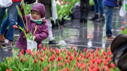 100.000 Wervikse tulpen gratis in Antwerpse pluktuin
