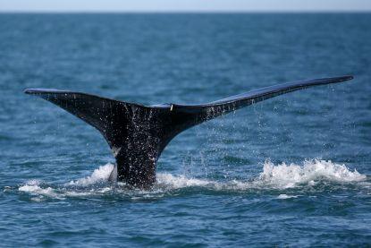 Vier exemplaren van bedreigde walvissoort aangespoeld voor Canadese kust