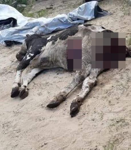Wolf valt koe aan in stal in België: 'Dit is het werk van Brabantse Billy'