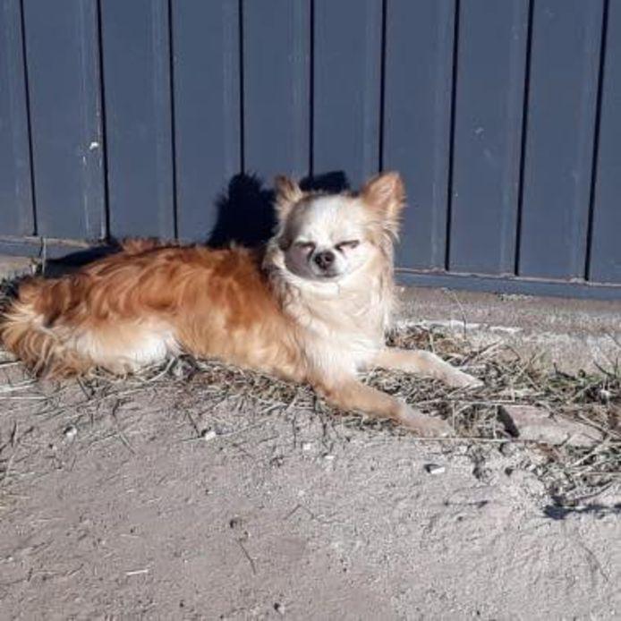 Chihuahua Aapie