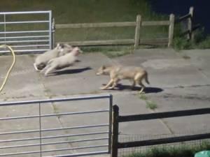 Une attaque de loup filmée aux Pays-Bas
