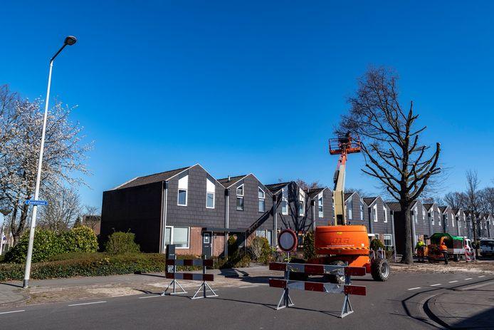 Een boom in de Zandstraat wordt flink teruggesnoeid omdat bij de reparatie van een gaslek een groot deel van de wortels dichtbij de stam is verwijderd. De boom kan daardoor omvallen.