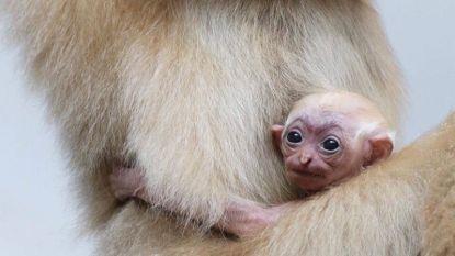 Weer babygeluk in Pairi Daiza: goudwanggibbon geboren
