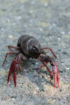 Delfland gaat rode rivierkreeften vangen