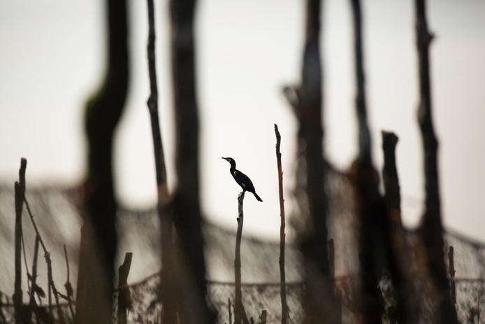 Eenzame aalschover op de houten staken van de anjsovisfuik
