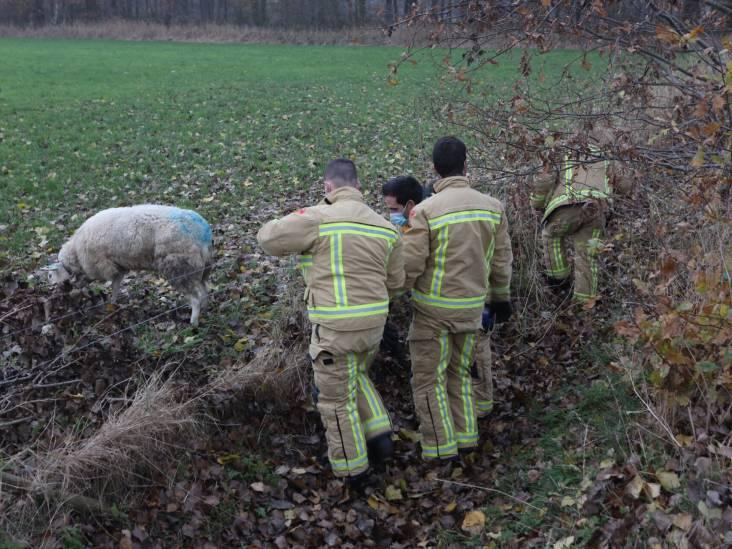 Brandweer redt onfortuinlijk schaap uit sloot in Best