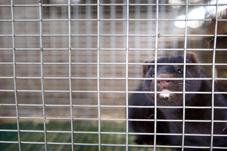 Nertsen – van nature roofdieren – leven in kleine kooien in stallen. Beeld Hollandse Hoogte/ANP