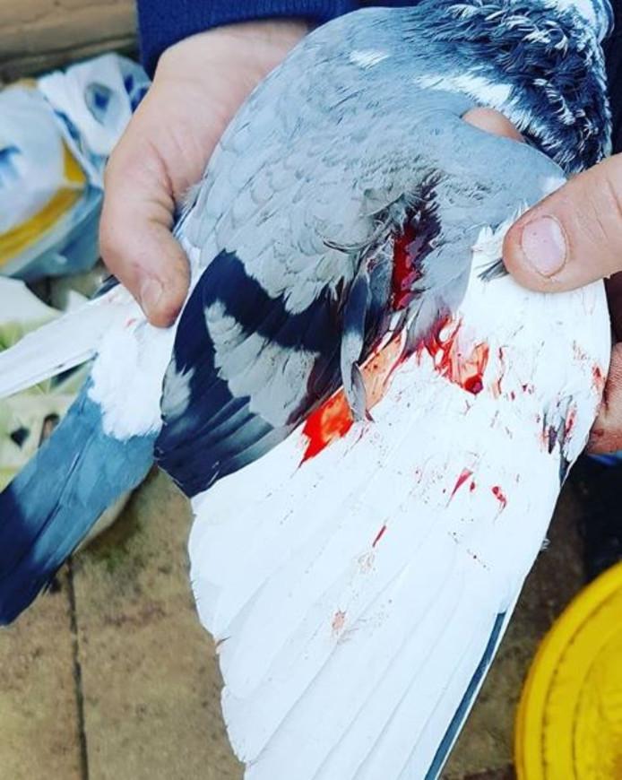 De verwondingen van de sierduif.
