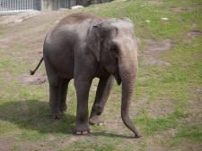 Olifant Saba arriveert na voorspoedige reis vanuit Zweden in Burgers' Zoo