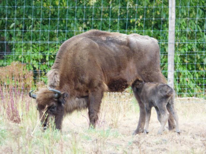 Foto ter illustratie, van het wisent-kalf dat eind juli vorig jaar op de Veluwe werd geboren.