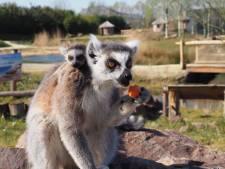 Geboortjegolfje in ZooParc Overloon, maar de jonge dieren bekijken kan nog even niet
