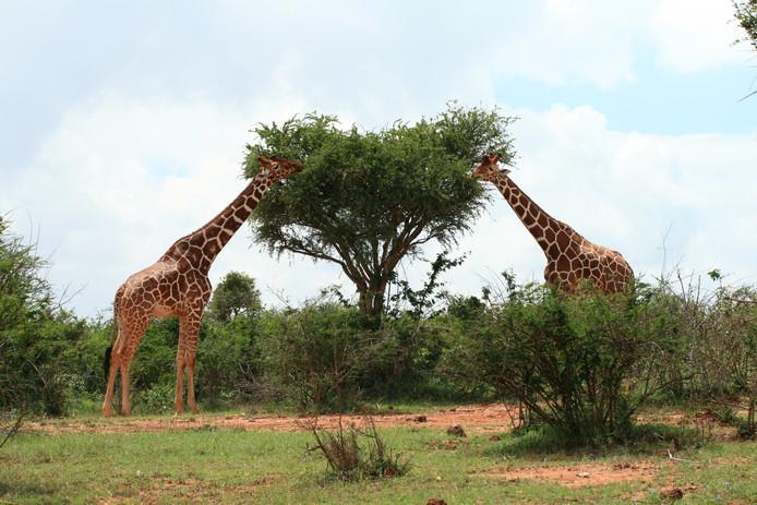Acacia's waarschuwen elkaar voor giraffen via het Wood Wide Web.