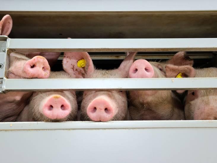 Subsidiefraude kost varkensboer uit Reusel forse werkstraf
