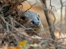 Pionierende otter wordt doodgereden voor hij de Betuwe bereikt