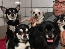 Gedumpte Tielse chihuahua's zeer gewild: 'Telefoon staat roodgloeiend'