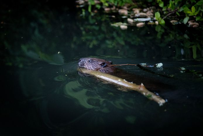 Bevers gespot in de Dode Linge: mannetje (foto) en vrouwtjezwemmen erop los en slepen met takken.