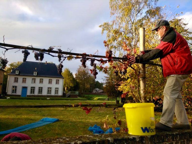 De wijnstok werd zopas geoogst in de pastorietuin. Dat leverde zo'n vijftien liter op.
