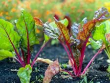 Potager pollué aux métaux lourds à Bressoux: surtout les salades et les choux