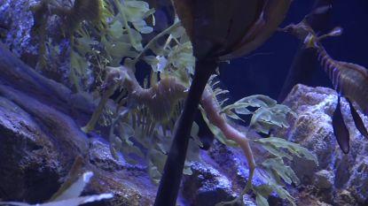 Aquarium voor bedreigde zeedraken geopend