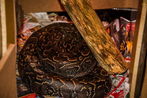 Het ontsnapte exemplaar: een rotspython van 4 meter lang en 40 kilo zwaar.