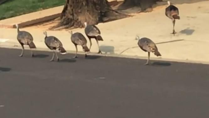 Kalkoenen terroriseren wijk in Californië
