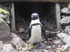 Internationale aandacht voor stel homopinguïns in DierenPark Amersfoort dat ei steelt en uitbroedt