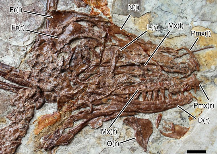 De schedel van de Microraptor. Beeld University of Alberta