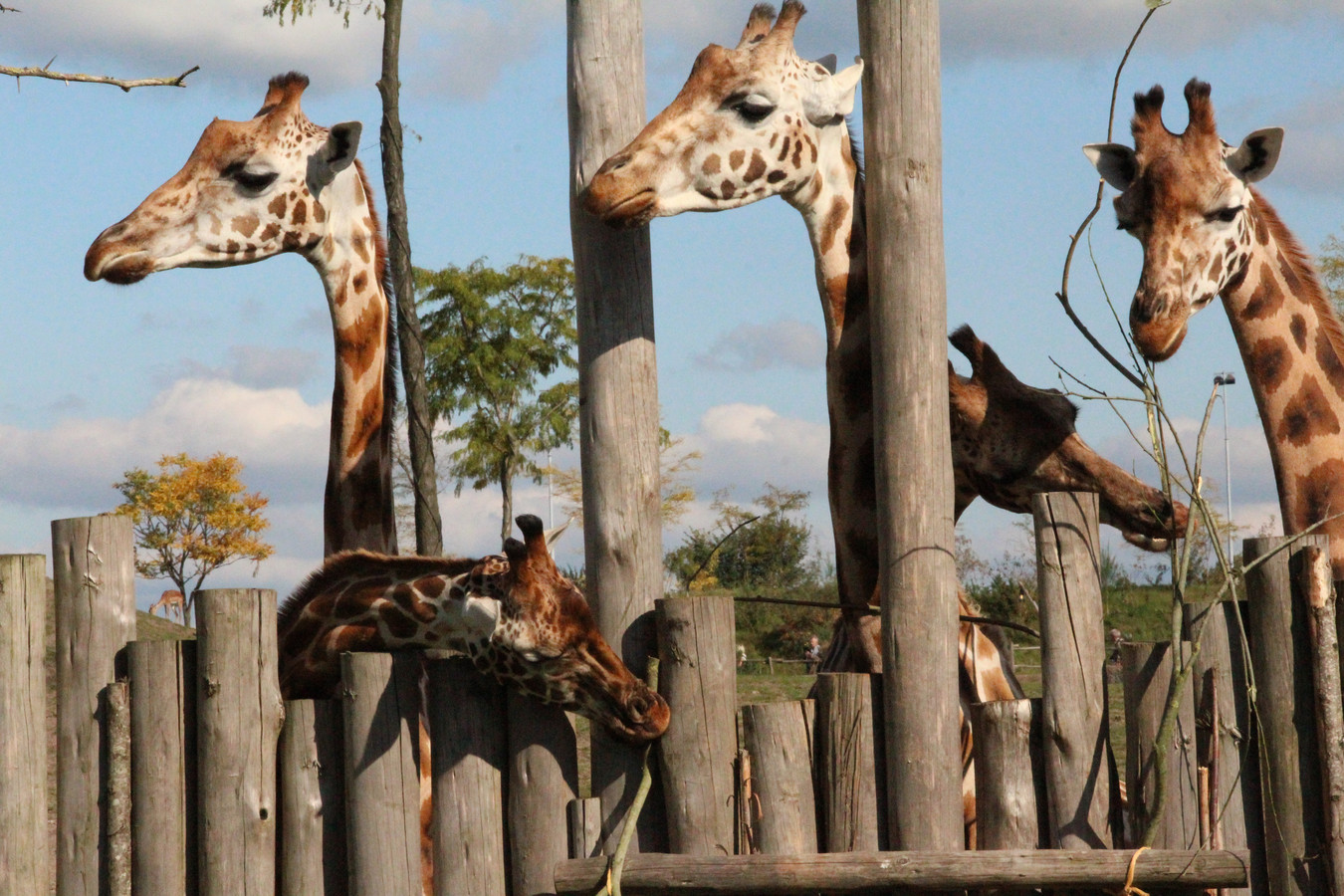 Giraffen in een wildpark