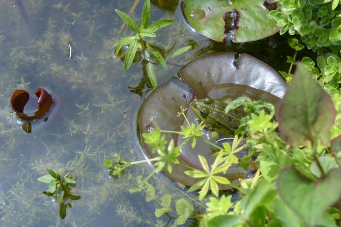 BN DeStem TuinAward deel 7: Tuin van Yvonne en Joop de Blok uit Roosendaal. Bij water horen waterdieren, zoals deze kikker.