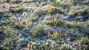 Vriestemperaturen, maar krokussen doen dromen van lente