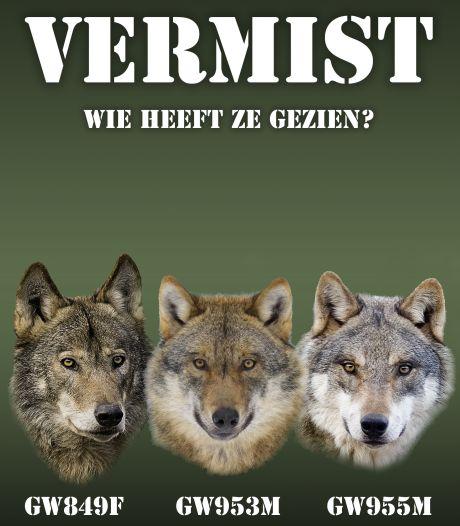 Drie wolven vermist: 'In Nederland zijn mensen met intense wolvenhaat'