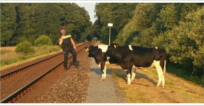 Een agent bij de koeien op het spoor in Winterswijk.