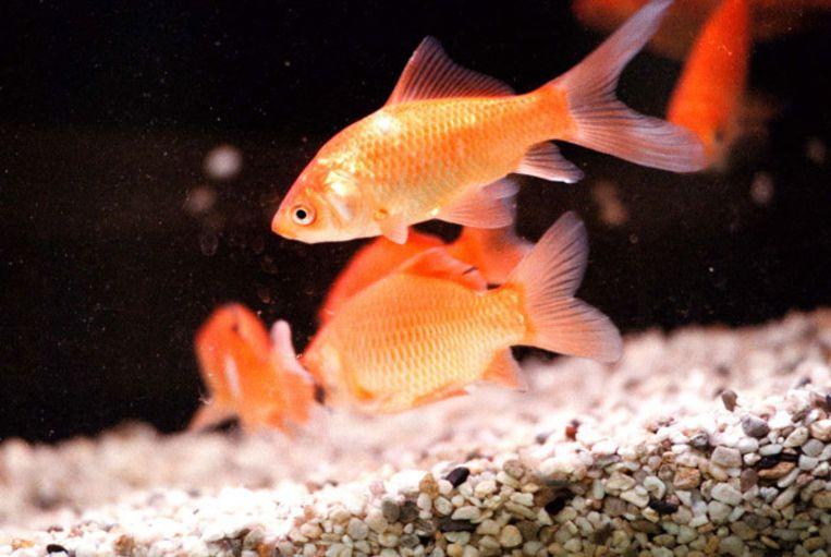 Normaliter sterft een goudvis uit het water binnen enkele minuten, Ginger blijkt een geval apart. Foto GPD Beeld