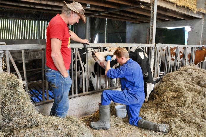 De veearts helpt de koe na de aanval van de hond in Arnhem.