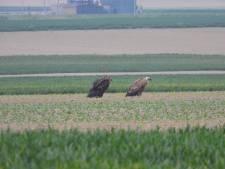 Twee gieren rusten uit bij de grens, maar we gaan ze steeds vaker zien