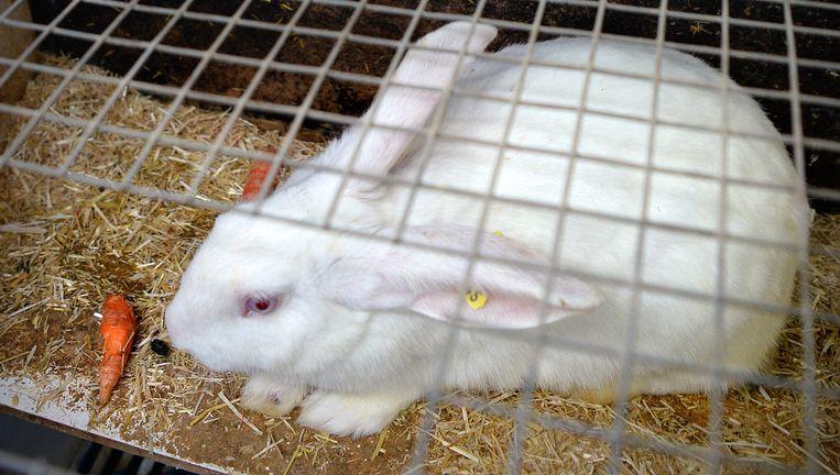 Konijnenfokker Frans Köhlen bij een Beter Leven-konijn. Behalve brokjes krijgen deze konijnen ook wortels en hooi en zijn de bodems van hun hokken niet van draadstaal. Beeld Marcel van den Bergh