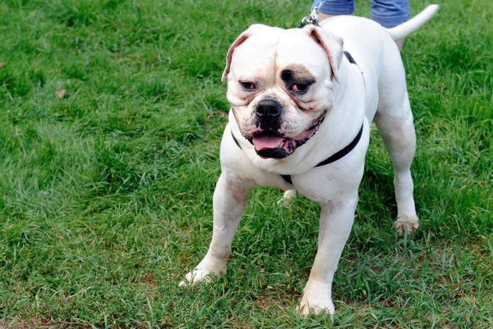 Een Amerikaanse bulldog.