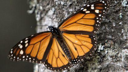 Vlinderpopulatie in Mexico drastisch gedaald