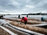 'Prijs asperges is zó laag dat het niet loont om ze te oogsten'