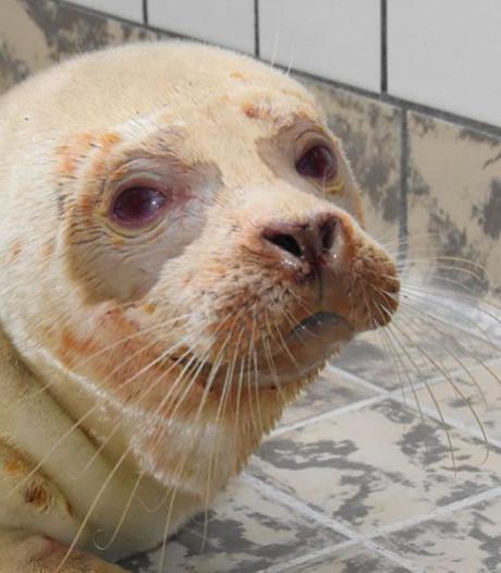 Zeldzame albinozeehond komt ziek, maar vol levenslust binnen bij de opvang