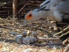 Bijzonder: twee secretarisvogels uit het ei gekropen bij Beekse Bergen