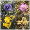 Fleurs du maquis d'Argelès-sur-Mer