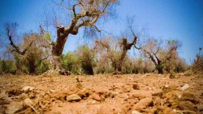 """Olijfbomen in Zuid-Italië sterven massaal door bacterie: """"Alsof in Rome het Colosseum omvalt"""""""