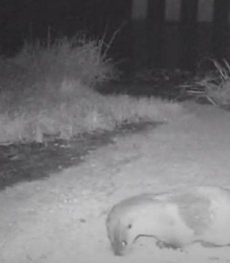 Otter steekt de grens over naar Rekken, nu zijn er eindelijk ook beelden van