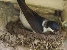 Langdurige droogte maakt het extra moeilijk voor huiszwaluwen om nest te bouwen